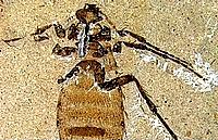 Fossile de Collembole
