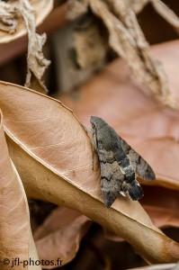 Moro-Sphinx au repos (assez rare à observer)
