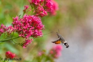 Moro-Sphinx en vol à bonne distance de la fleur