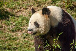 Grand panda de Chine