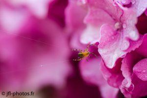 photo araignée funambule