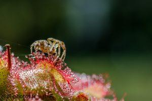 Araignée engluée