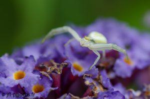photo-thomise-araignée