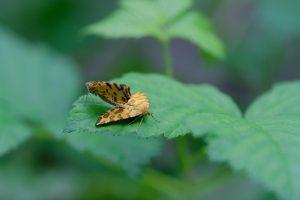 Accouplement papillon Panthère