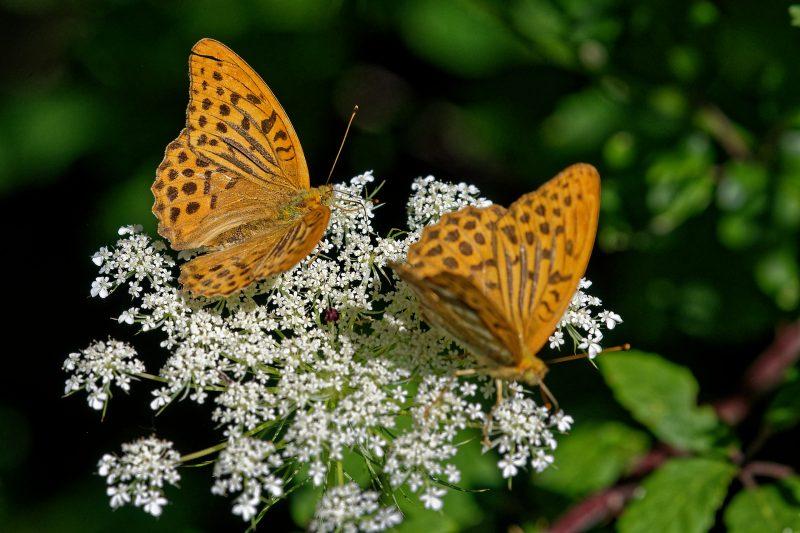 Papillons Tabac d'Espagne