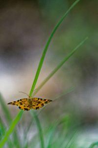 Photo papillon Panthère