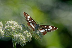 Papillon Carte Géographique