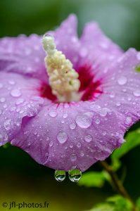 Fleur d'Altéa