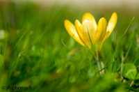Fleur Crocus