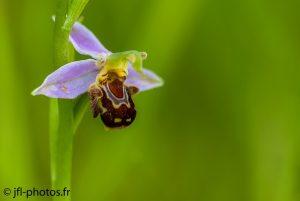Orchidée Ophrys Apifera