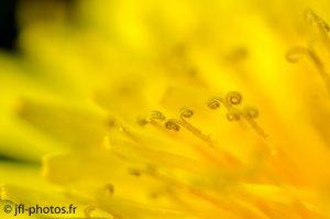 Fleuron de pissenlit