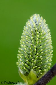 Fleur de saule marsault