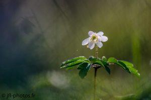 Anémone sylvestre