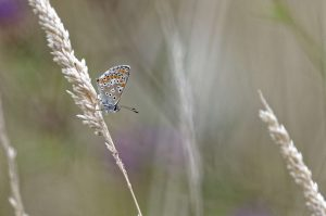 papillon_argus