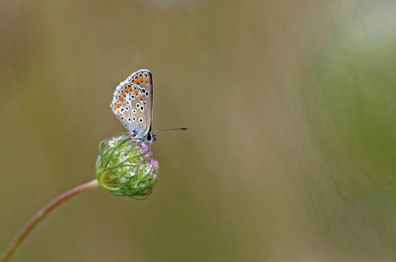 papillon_argus_equilibre