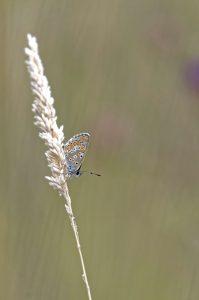 papillon_argus_portrait