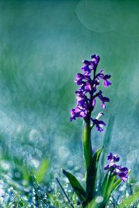 Orchis bouffon : Orchidée