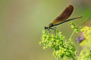 Libellule caloptéryx ailes de profil