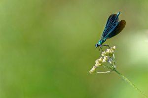 Libellule caloptéryx ailes ouvertes
