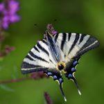 photo-papillon-flambe-ailes