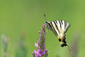 photo-papillon-flambe-butine-fleur