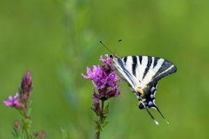 photo-papillon-flambe-sur-fleur