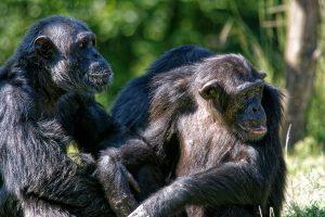 Zoo de la Palmyre : chimpanzé