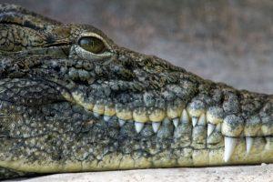 Zoo de la Palmyre : Crocodile