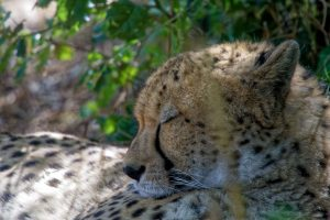 Zoo de la Palmyre : félin