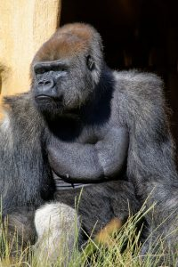 Zoo de la Palmyre : gorille
