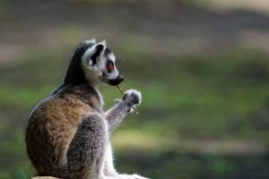 Photo jeune lémurien