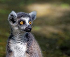 Beaux yeux d'un jeune lémurien