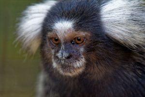 Zoo de la Palmyre : ouistiti