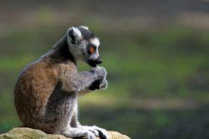Jeune lémurien