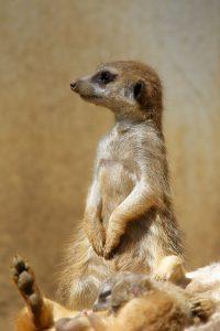 Zoo de la Palmyre : suricate