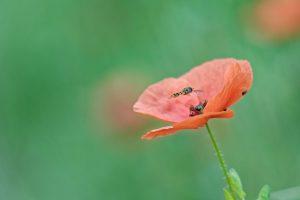 Syrphe sur fleur coquelicot