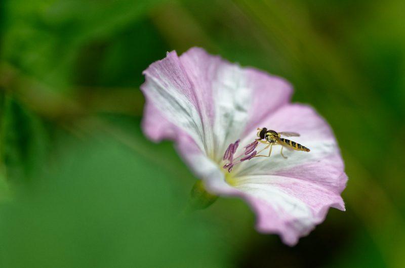 Syrphe sur fleur de liseron