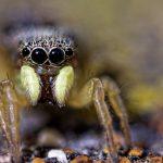 Araignée saltique
