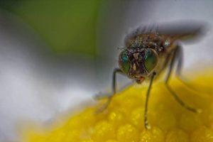 Yeux verts d'une mouche