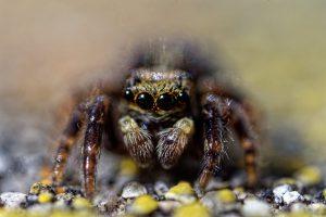 Araignée saltique en très gros plan